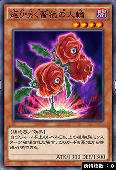 返り咲く薔薇の大輪のアイコン